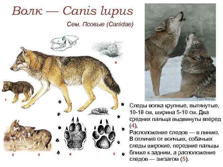 Следы волка на снегу – знакомство с хищником