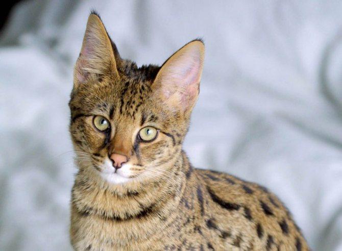 Ашера (44 фото): особенности породы, размеры кошек и котов. содержание больших котят