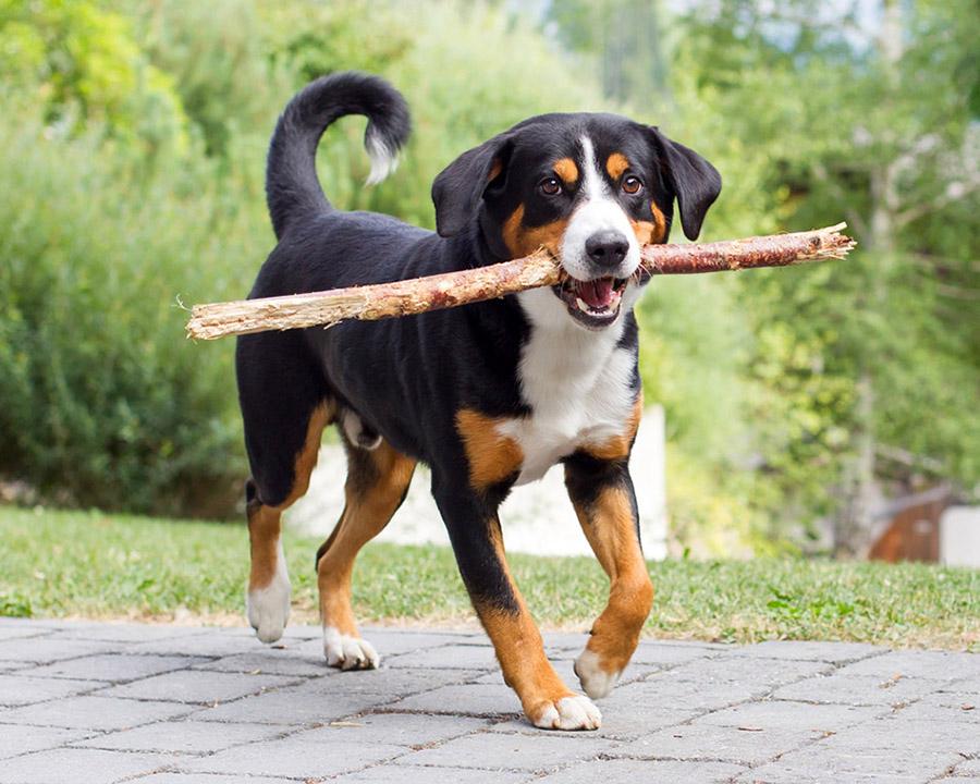 Бернский зенненхунд: описание, стандарт и характеристика породы, цена, фото щенков и собак, питомники, отзывы владельцев, сколько живут - продолжительность жизни