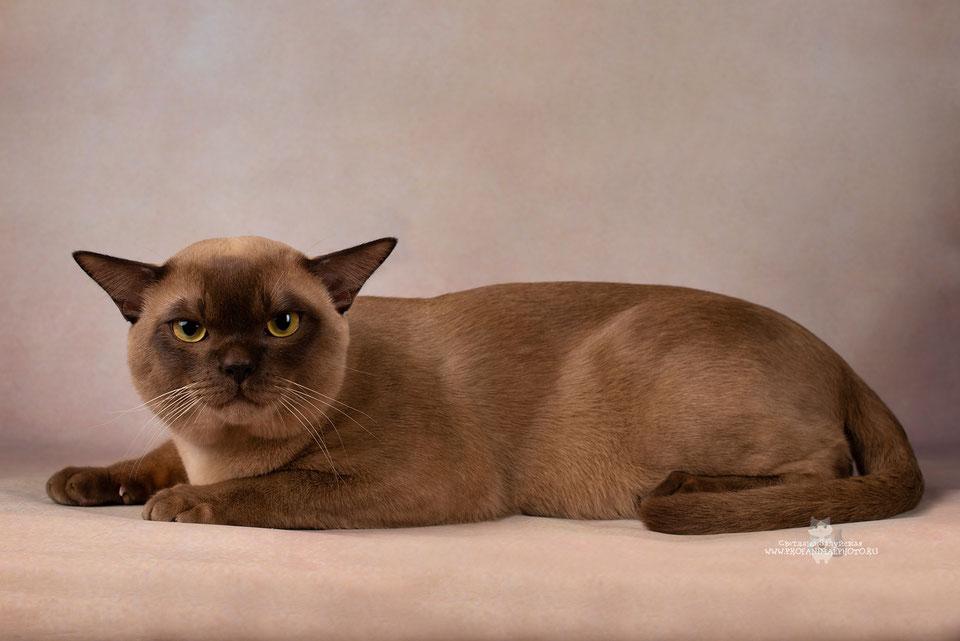 Бурманская кошка — 110 фото, особенности породы, выбор котенка, уход за взрослой кошкой и содержание бурмилла