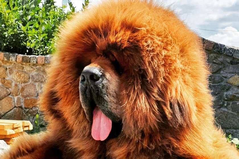 Тибетский мастиф: описание и характеристика породы - моя собака