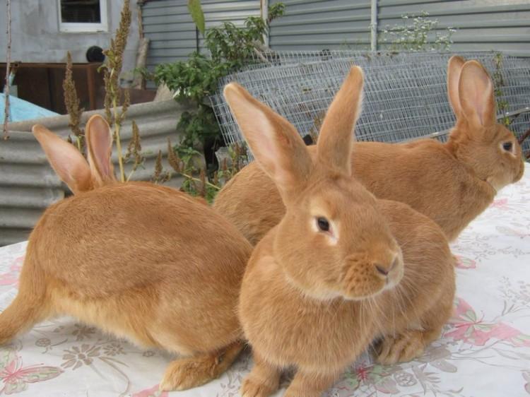 Бургундский кролик, описание и содержание в домашних условиях