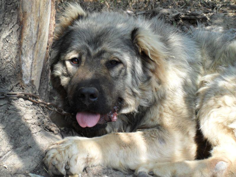 Кавказская овчарка ???? фото, описание, характер, факты, плюсы, минусы собаки ✔