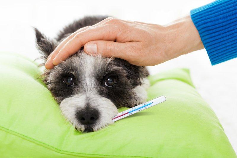 Какая температура у собаки считается нормальной?