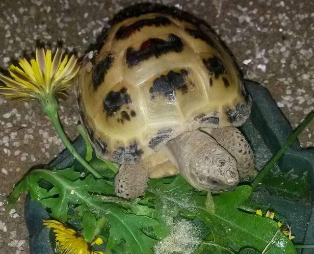 Чем кормить черепаху: особенности питания в домашних условиях и в природе