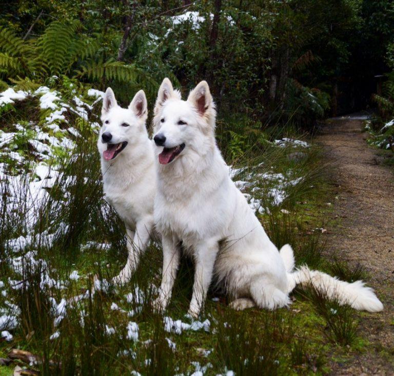 Описание породы собак белая швейцарская овчарка с отзывами владельцев и фото