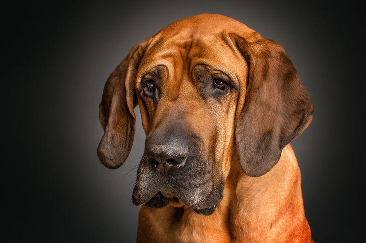 Бладхаунд: особенности английской породы, уход за ней в домашних условиях, фото, цена, стандарты собаки