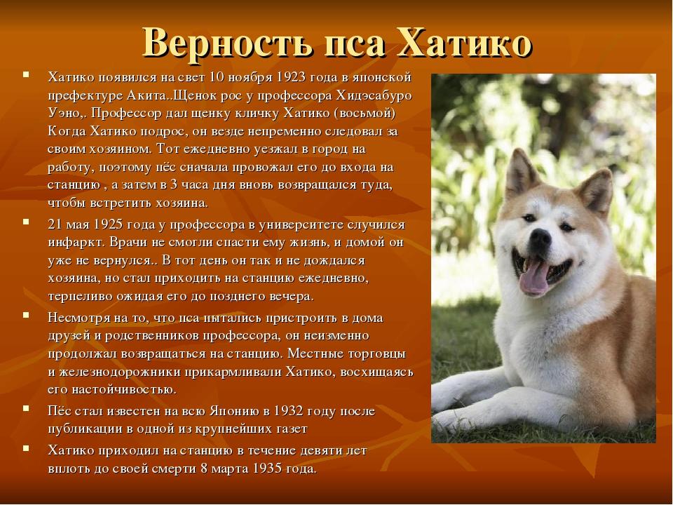 Акита ину порода собак. описание, особенности, характер, уход и цена   животный мир
