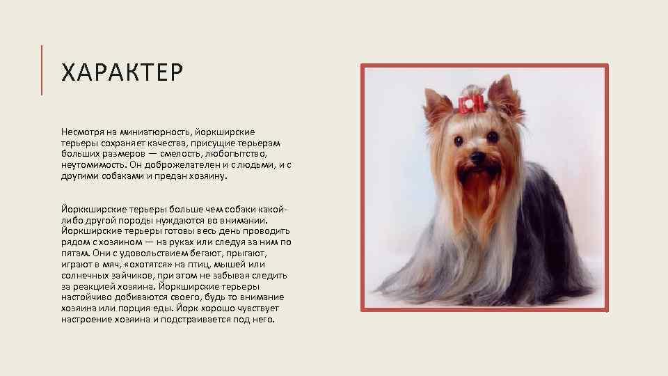 Норфолк терьер: описание породы, характер, фото | все о собаках