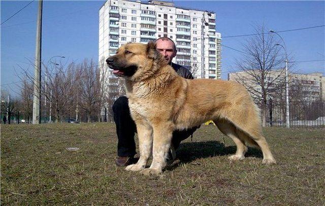 Кавказская овчарка собака. описание, особенности, уход и цена кавказской овчарки | sobakagav.ru
