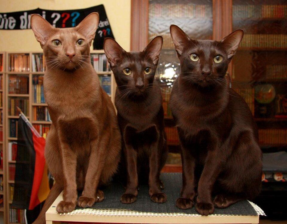 Гавану браун редкая порода кошек. описание породы, описание характера, ухода и питания по гавану браун