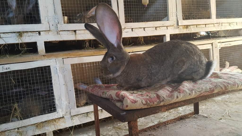 Фландр кролик: описание бельгийской породы домашних животных