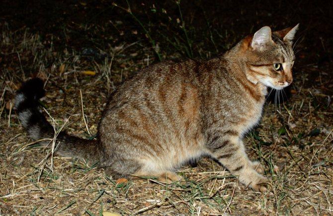 Кошки-мышеловки: какие породы лучше ловят мышей