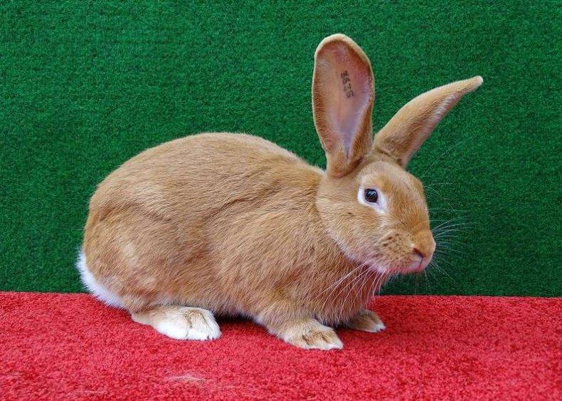 Кролик бургундский: описание и характеристика породы, содержание и уход, продуктивность