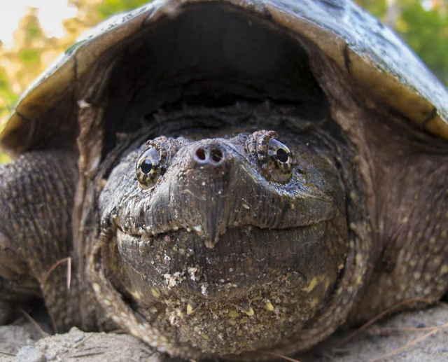 Как кормить каймановую черепаху