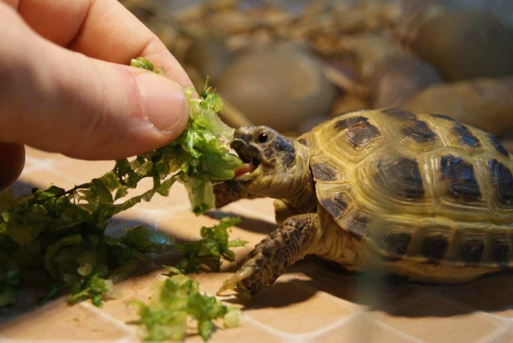 Чем кормить сухопутную черепаху в домашних условиях: правила кормления, что ест