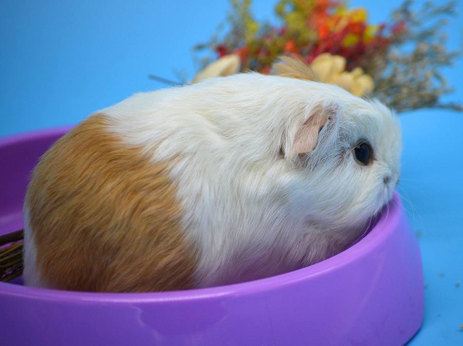 Чем питается морская свинка в домашних условиях: корма и список продуктов питания, которые можно и нельзя включать в рацион