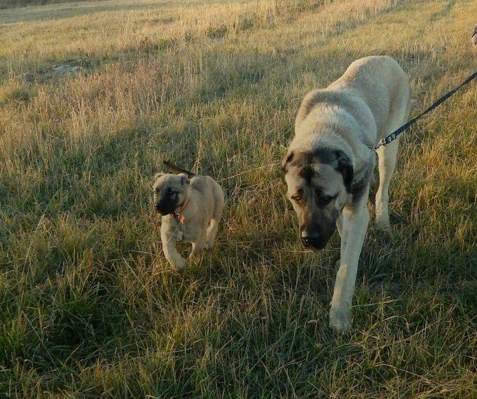 Описание породы собак гампр (армянский волкодав) с отзывами