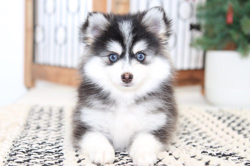 Помски: помесь хаски и шпица, как метис выглядит на фото, а также как правильно называется порода собак