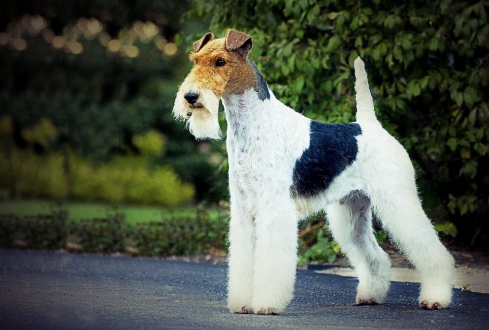 Редкие породы собак. описание, названия, виды и фото редких пород собак