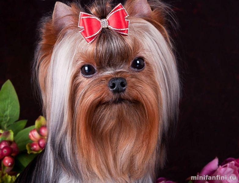 Йоркширский терьер биро: история появления, внешний вид, характер собак и особенности ухода + как правильно выбрать щенка