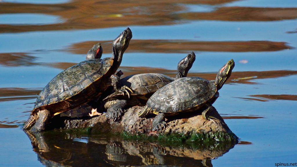 Сухопутная черепаха (100 фото): ареал обитания, внешний вид, повадки, интересные факты