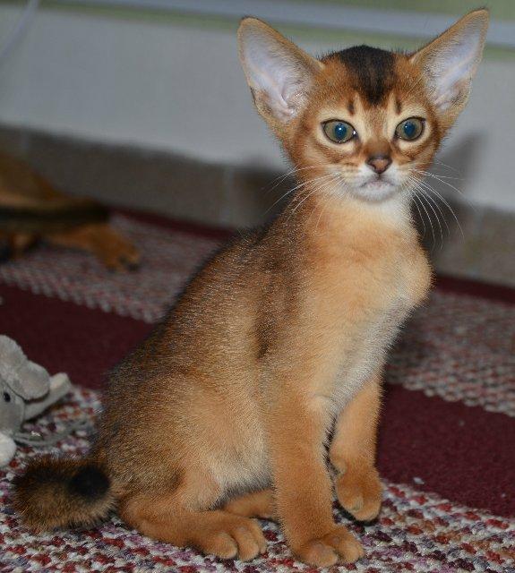 Абиссинская кошка фото, цена котят и питомники, характер, отзывы