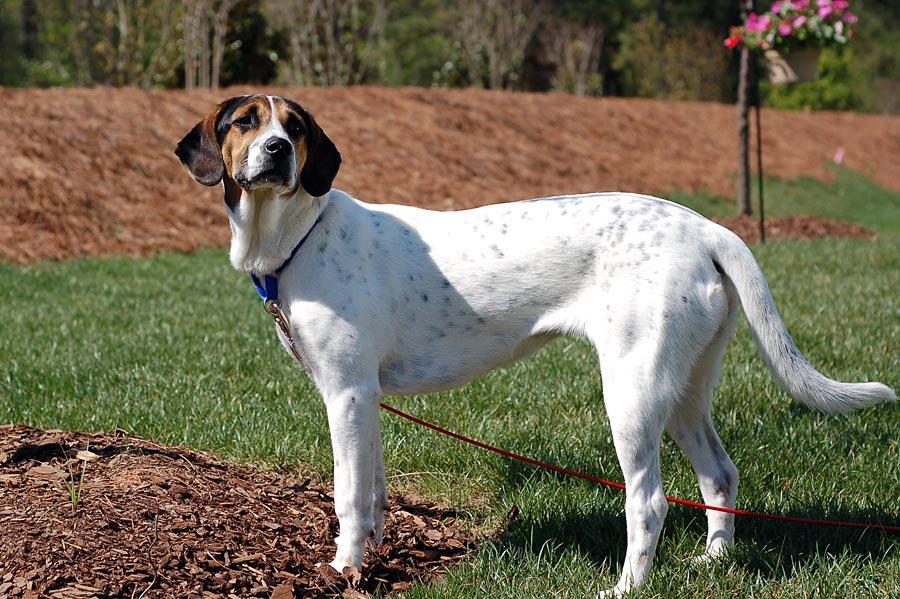 Характеристика собак породы американский фоксхаунд с отзывами и фото