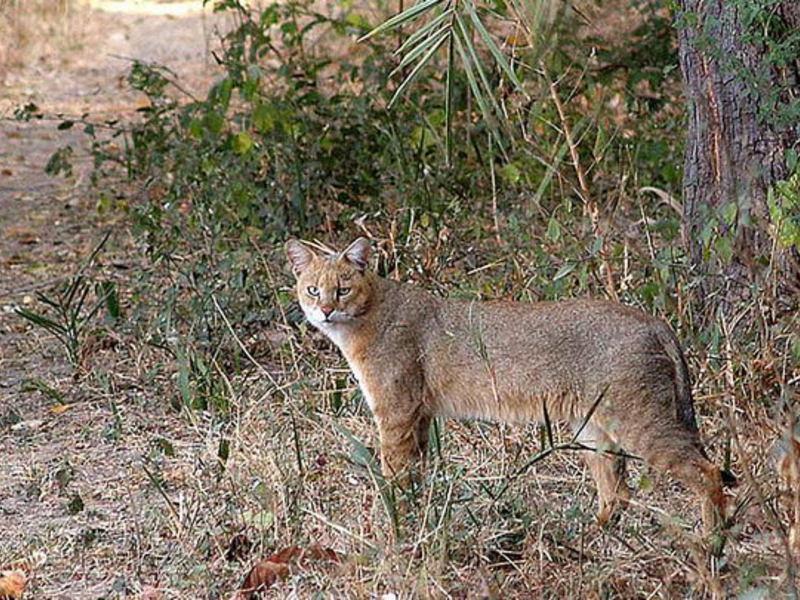 Камышовый кот (12 фото): можно ли держать дома, видео, описание