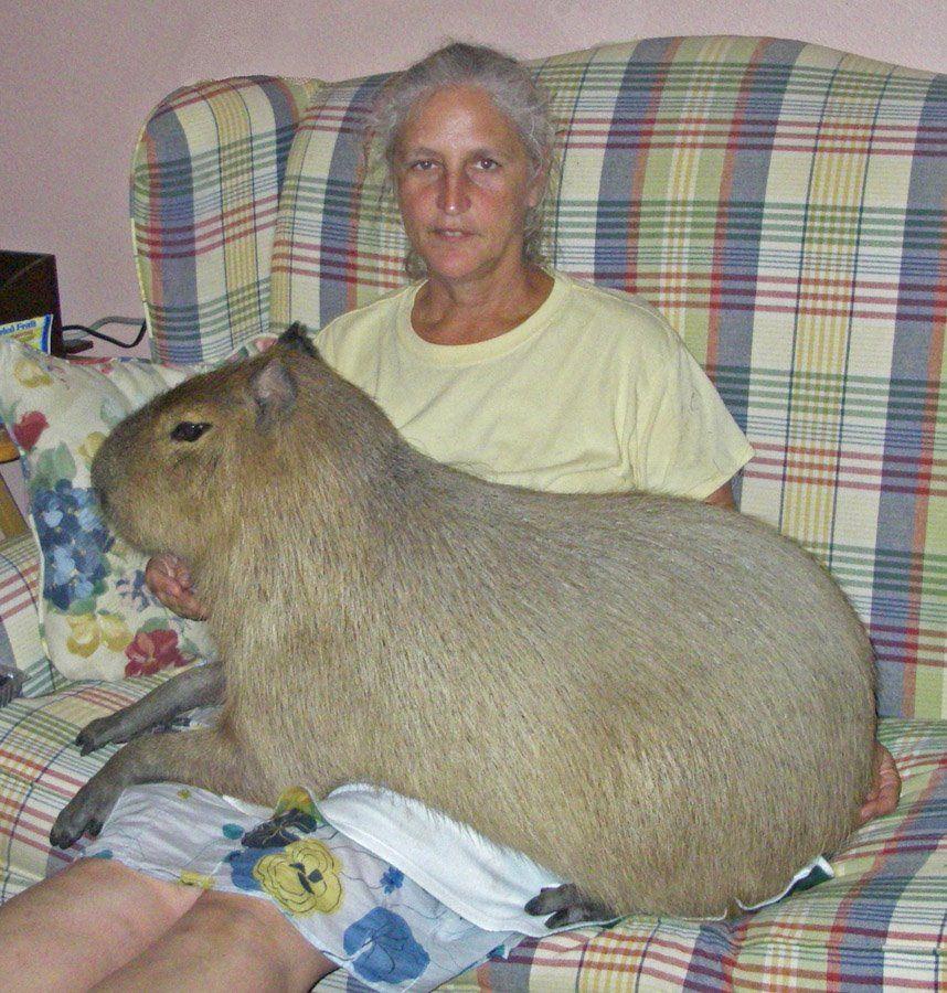 Возраст и вес морской свинки таблица. сколько весит морская свинка
