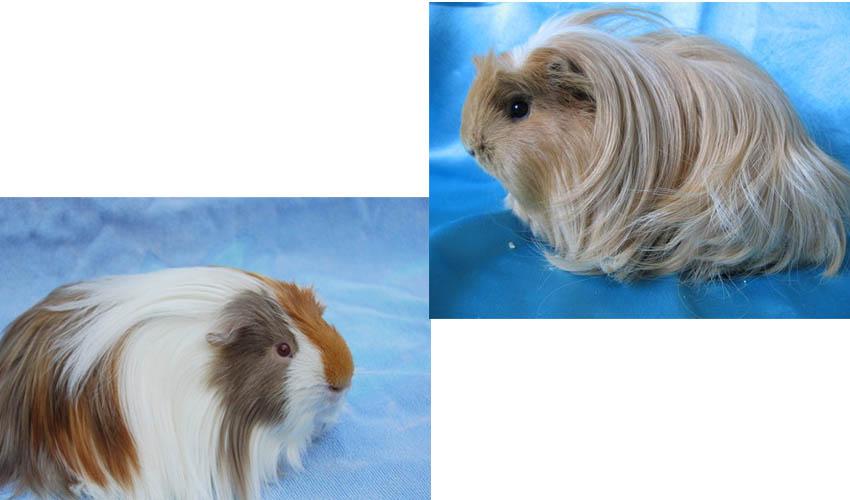 Морская свинка: описание, породы, уход, образ жизни | планета животных