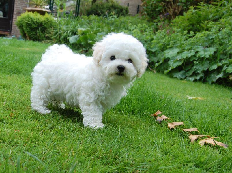 Болоньез собака (итальянская болонка): описание, характер, содержание, фото