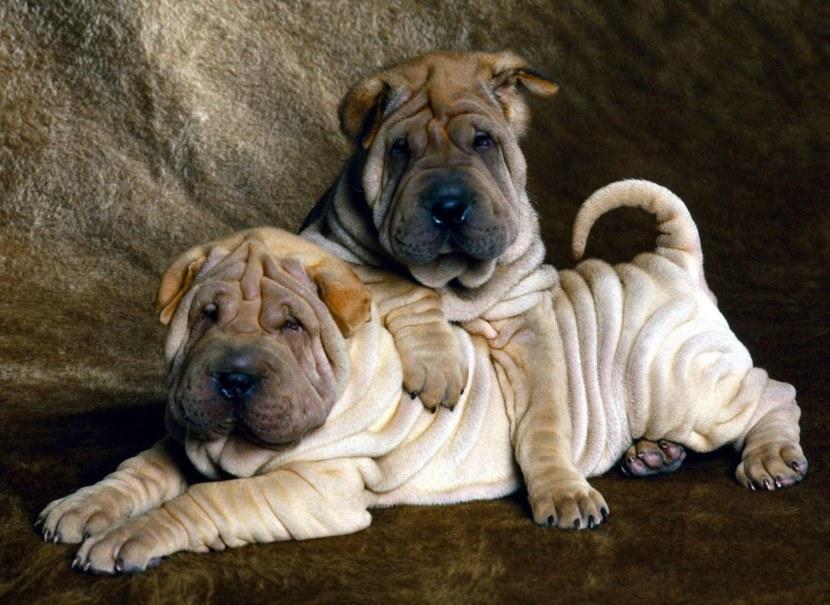 Самые спокойные породы собак: фото, описание, уход