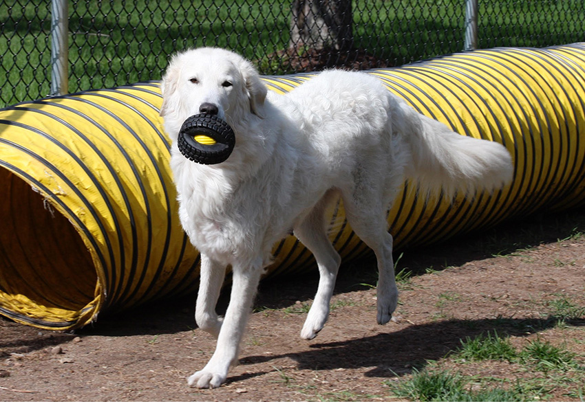 Кувас: стандарт венгерской породы, описание, характер и особенности содержания собаки, выбор щенков