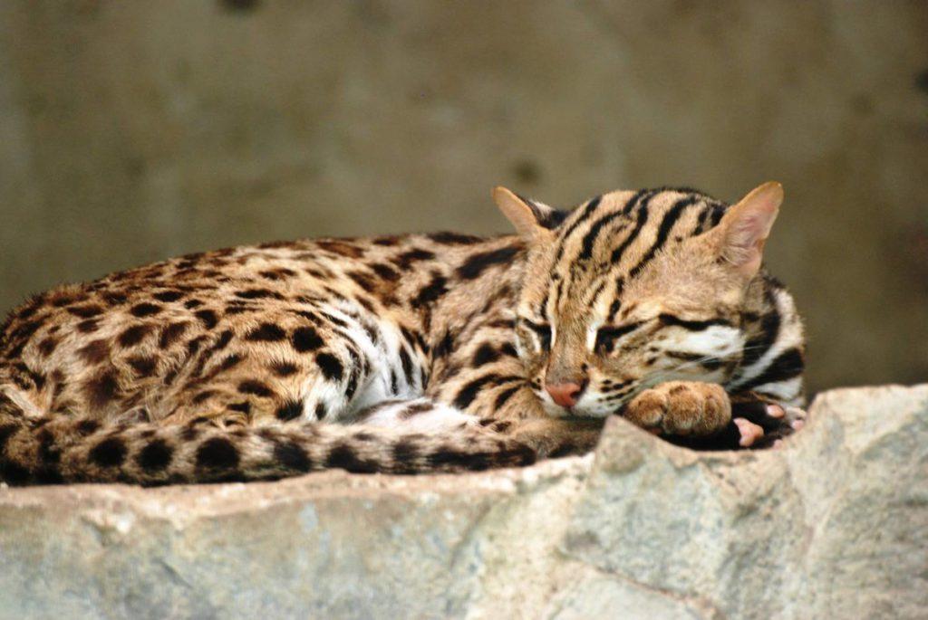 Леопардовая кошка — что за порода