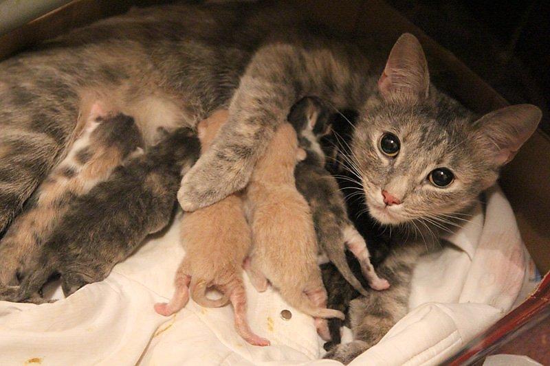 Сколько котят в среднем рожает кошка за один раз