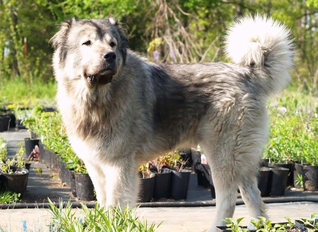 Кавказская овчарка: характеристика породы, описание, характер, уход и содержание, чем кормить, стандарты, история
