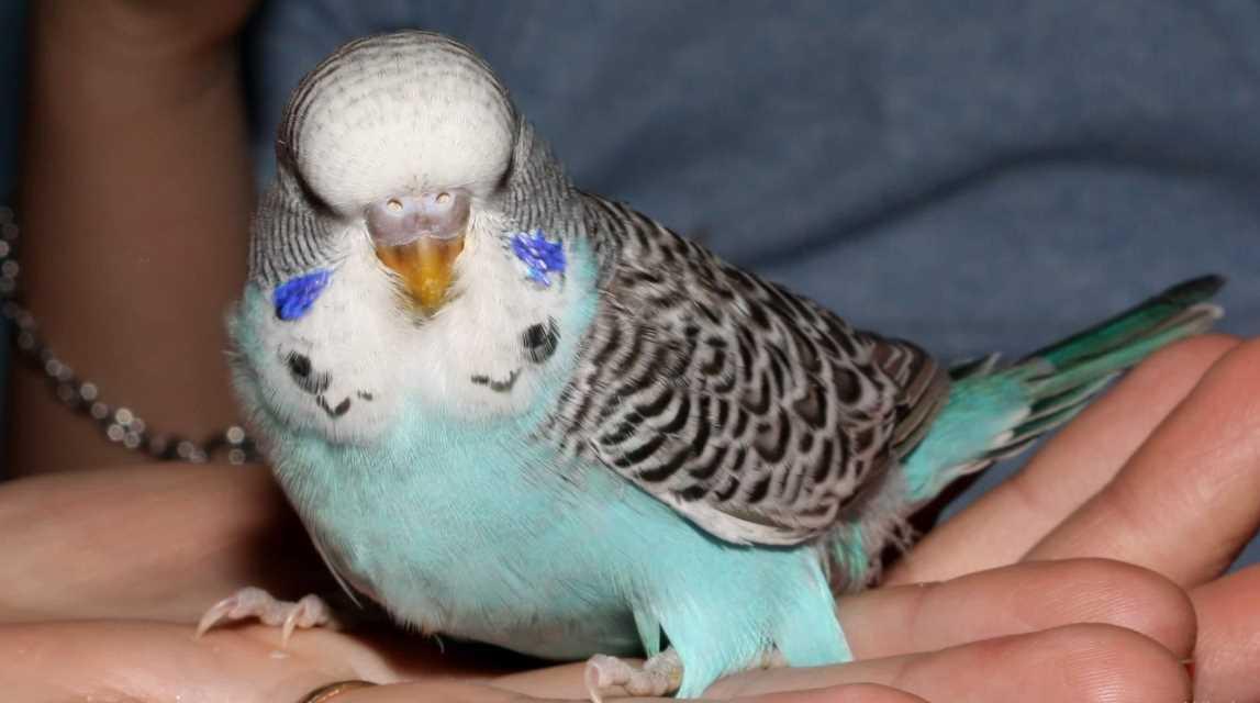 Как приручить попугая к рукам: правила попугая и подходы к его характеру