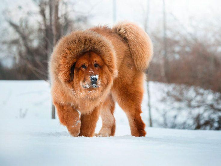 Тибетский мастиф — порода собак