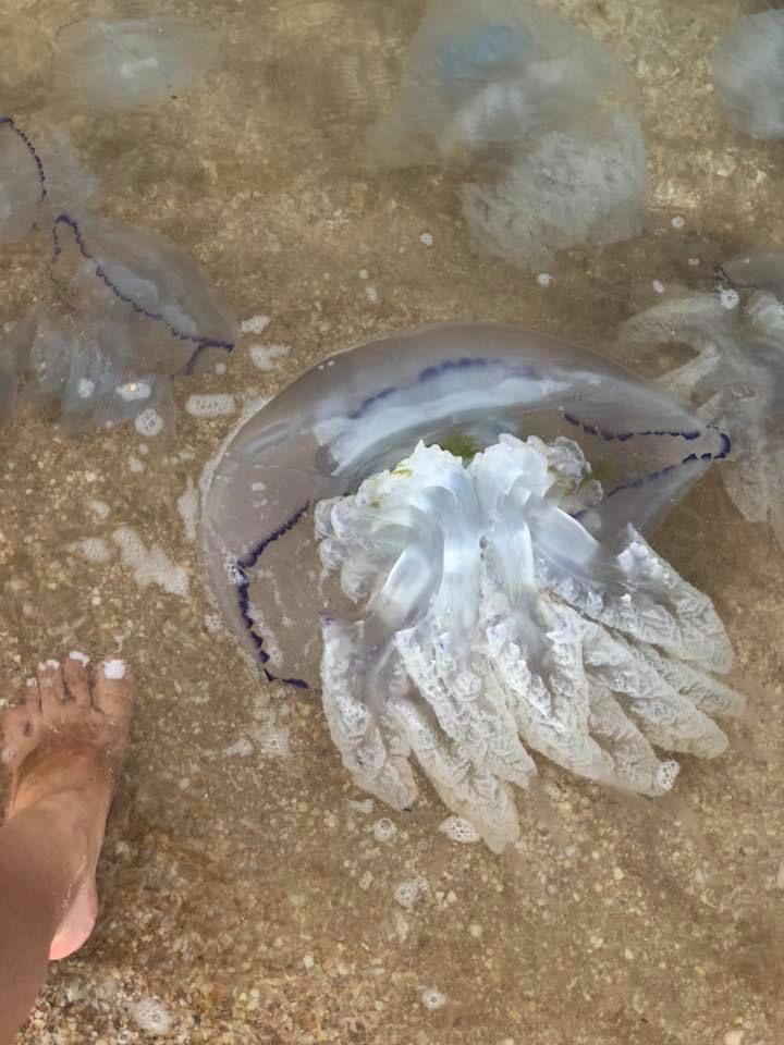 Опасные медузы (ядовитые), обитающие в черном море