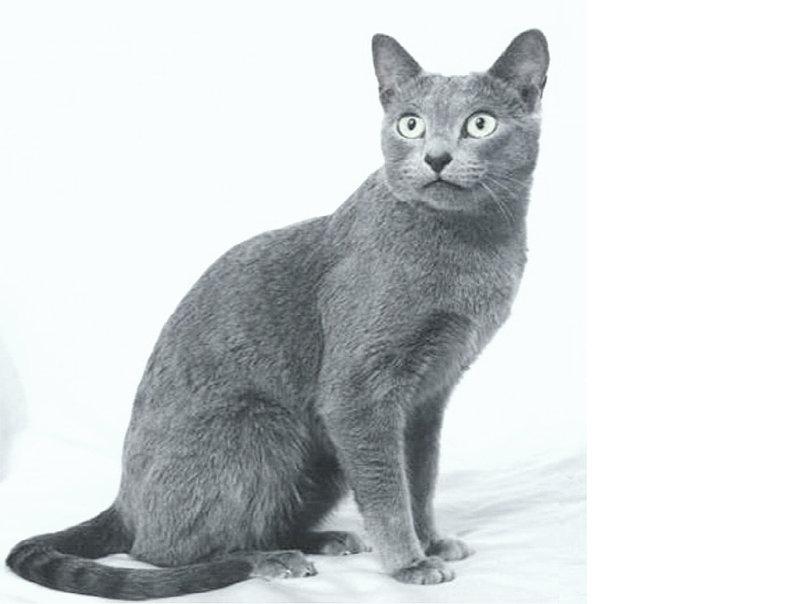 Русская голубая кошка: описание породы, уход, цена котят ифото + отзывы владельцев