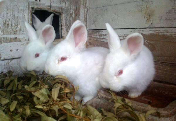 Кролики породы новозеландская красная - фотографии и описание новозеландского кролика