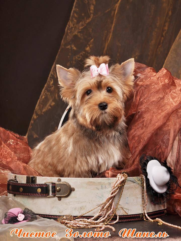Порода собак русалочка фото