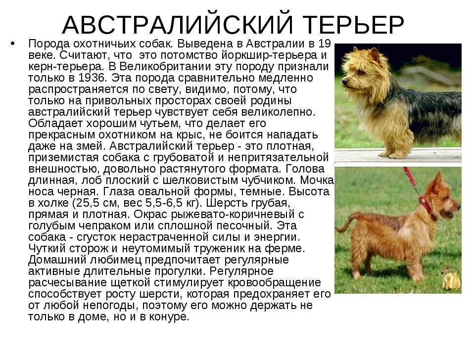 Норфолк-терьер (31 фото): описание норфолкской породы, характер щенков. содержание собак