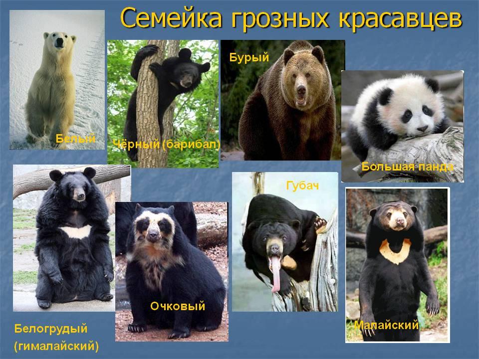 Медведи: описание животного, сколько живут, виды, среда обитания