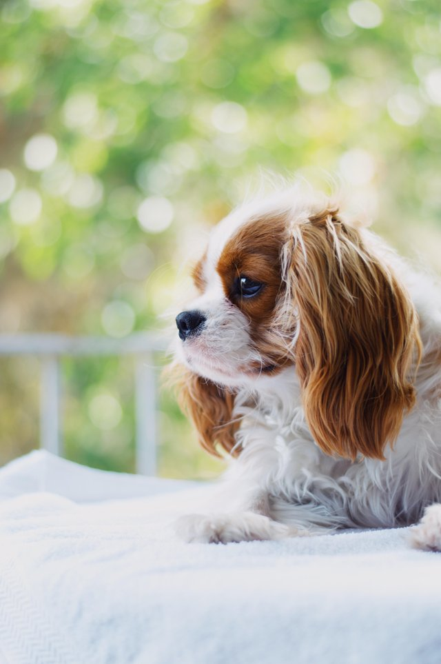 Кавалер-кинг-чарльз-спаниель ???? фото, описание, характер, факты, плюсы, минусы собаки ✔
