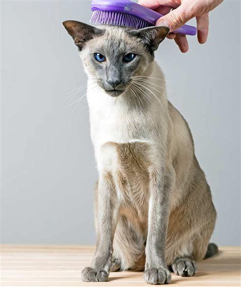 Гипоаллергенные кошки: породы с фотографиями и названиями