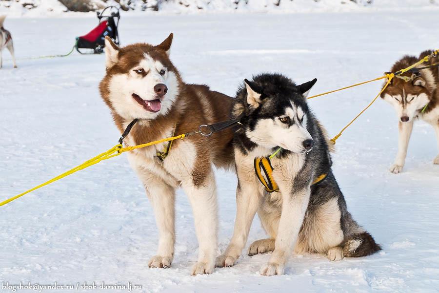 Ездовые породы собак: список представителей с фотографиями, названиями, описаниями и ценами