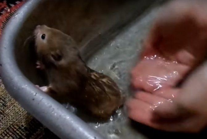 Можно ли мыть хомяков, как и когда проводить процедуру, инструкции по купанию, мнения ветеринаров + видео