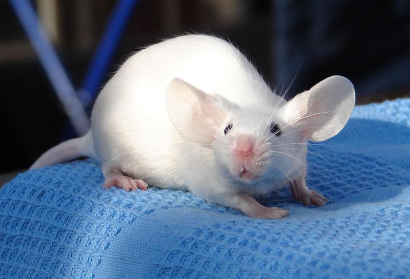 Сатиновая мышь (декоративная): описание, уход и содержание